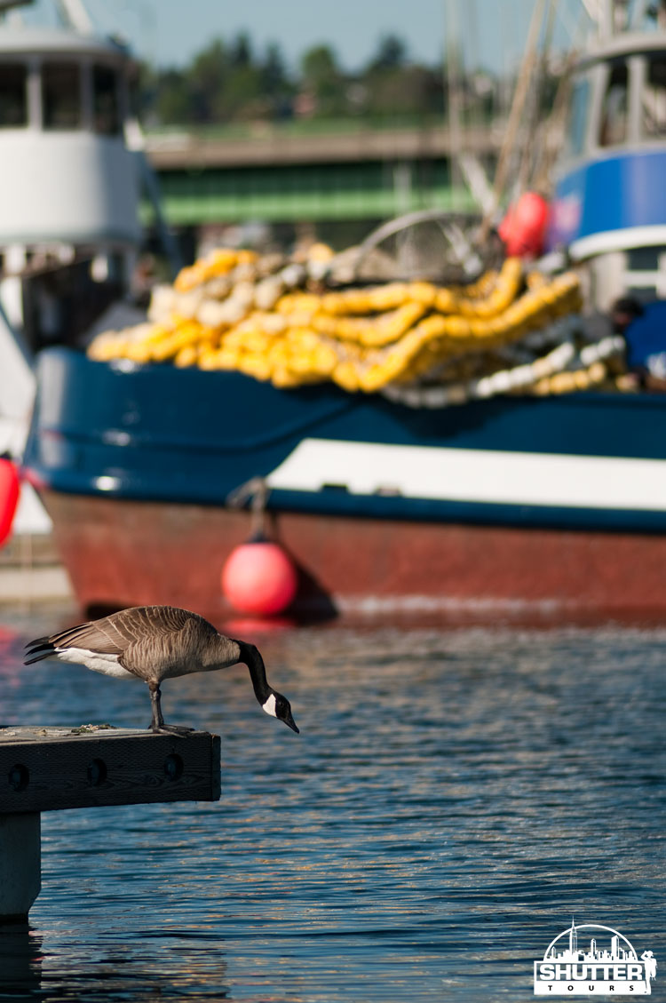 Canadian Goose at Seattle's Fishermen's Terminal