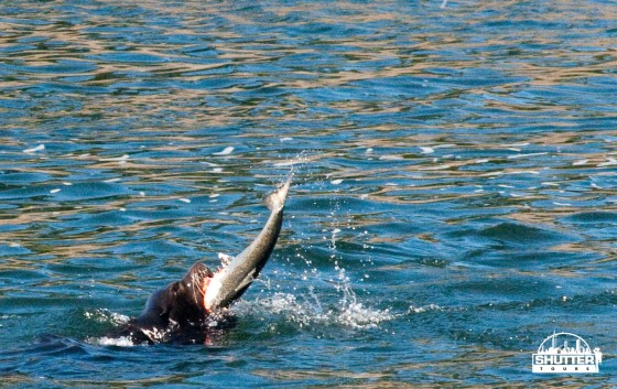 Sea Lion eating salmon at the Ballard locks in Seattle