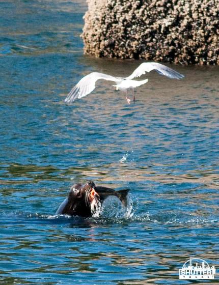 Sea Lion eating salmon at the Ballard locks in Seattle