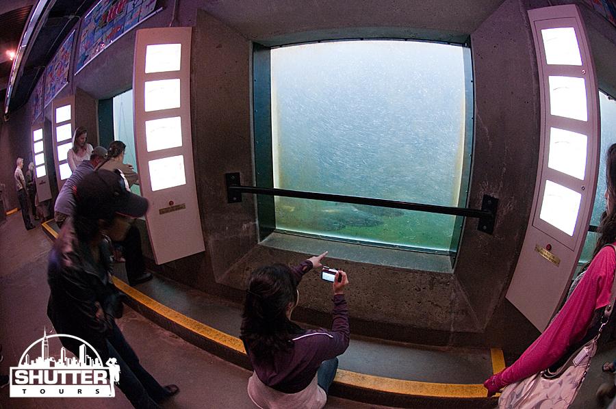 Spawning salmon viewing area at the Ballard locks in Seattle