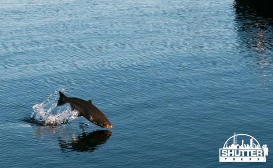 Spawning slamon jumping at the Ballard Locks in Seattle.