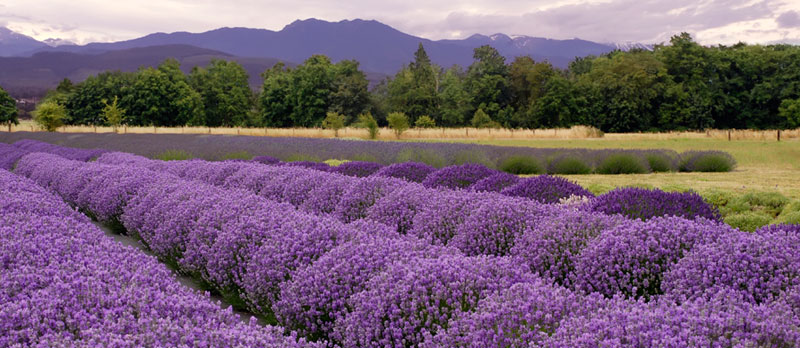lavender field and tour in Sequim