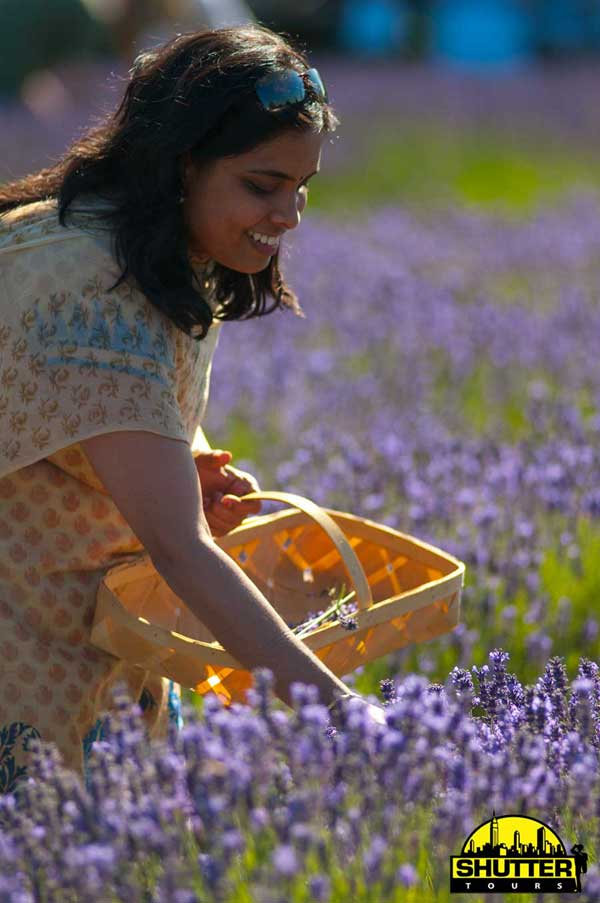 Purple Haze Lavender Self Pick