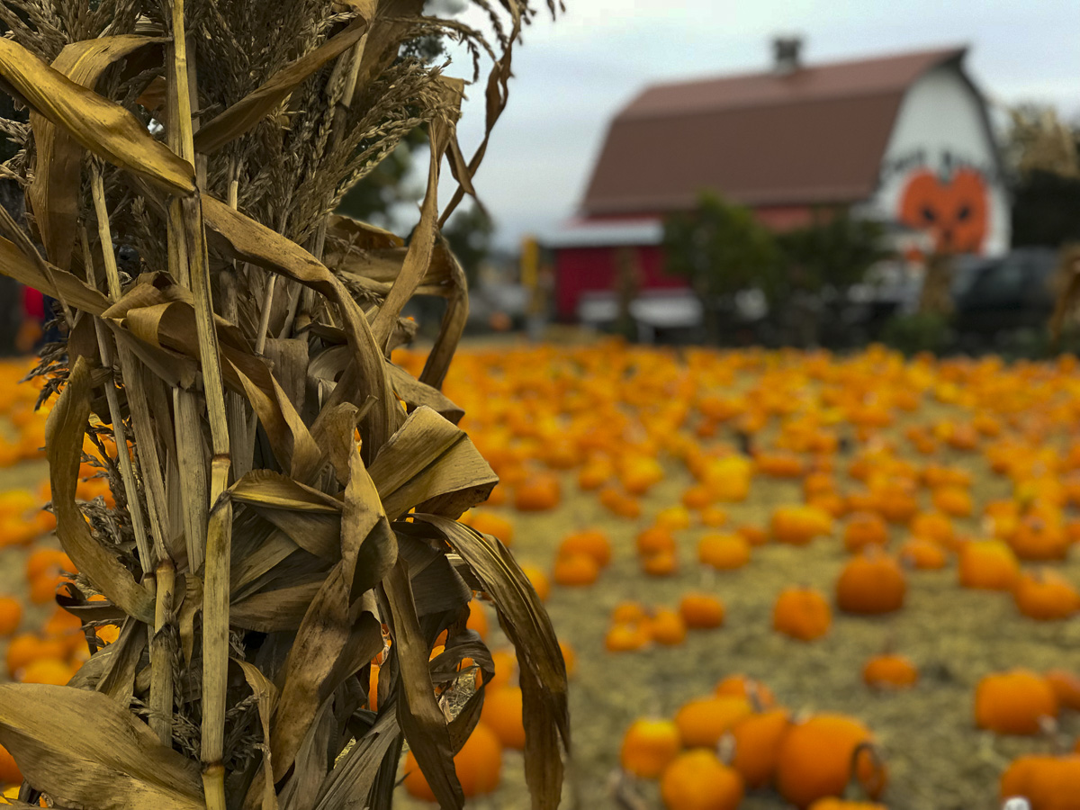 Shuh Farms Pumpkin Patch